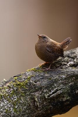 soku_36365.jpg :: ミソサザイ 動物 鳥 野鳥 自然の鳥 ミソサザイ