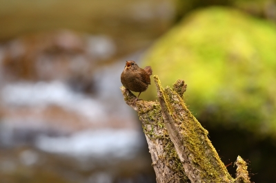 soku_36366.jpg :: 動物 鳥 野鳥 自然の鳥 ミソサザイ