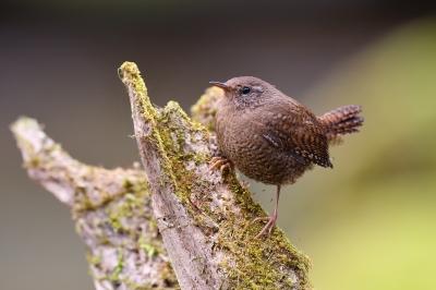 soku_36368.jpg :: 動物 鳥 野鳥 自然の鳥 ミソサザイ