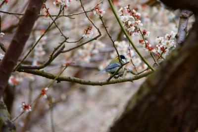 soku_36425.jpg :: 梅 堤梅団地 野鳥 シジュウカラ