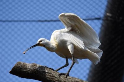 soku_36426.jpg :: 動物園の鳥ヘラサギ