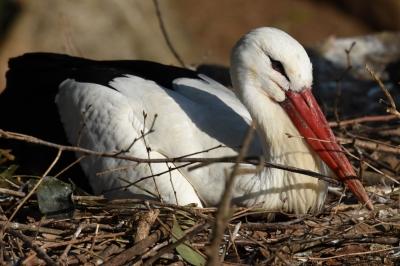 soku_36428.jpg :: 動物園の鳥シュバシコウ