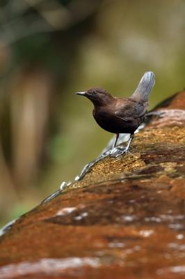 soku_36429.jpg :: 動物 鳥 野鳥 自然の鳥 カワガラス
