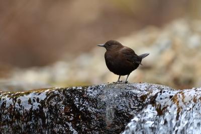 soku_36430.jpg :: 動物 鳥 野鳥 自然の鳥 カワガラス