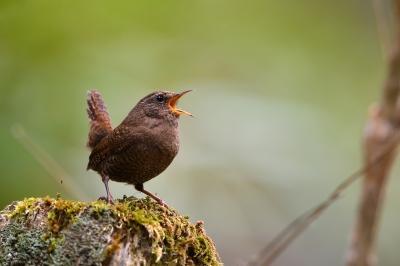 soku_36431.jpg :: 動物 鳥 野鳥 自然の鳥 ミソサザイ