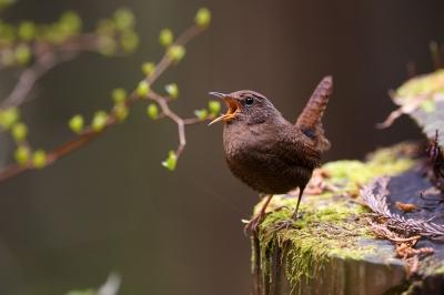 soku_36432.jpg :: 動物 鳥 野鳥 自然の鳥 ミソサザイ