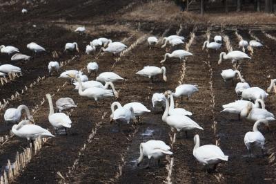 soku_36445.jpg :: 動物 鳥 野鳥 自然の鳥 白鳥
