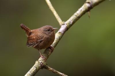 soku_36446.jpg :: 動物 鳥 野鳥 自然の鳥 ミソサザイ
