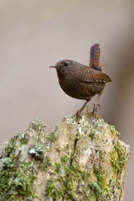 soku_36447.jpg :: 動物 鳥 野鳥 自然の鳥 ミソサザイ
