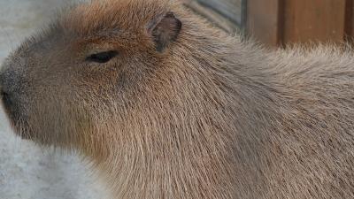 soku_36456.jpg :: 動物 哺乳類 カピバラ