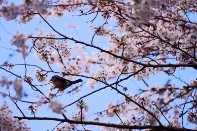 soku_36462.jpg :: 桜 野鳥