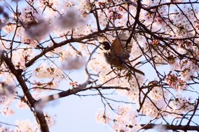 soku_36463.jpg :: 桜 野鳥