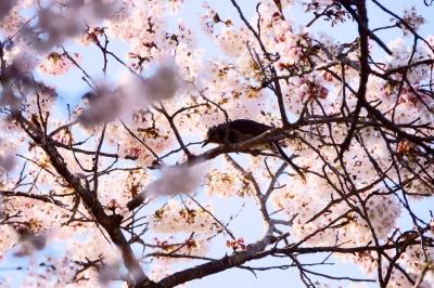 soku_36464.jpg :: 桜 動物 鳥 野鳥 自然の鳥
