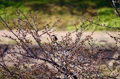 soku_36466.jpg :: 動物 鳥 野鳥 自然の鳥