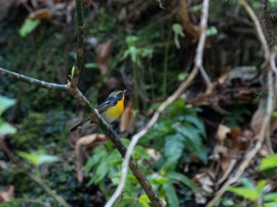soku_36480.jpg :: 動物 鳥 野鳥 自然の鳥 キビタキ