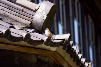 soku_36486.jpg :: 野動物 鳥 野鳥 自然の鳥  スズメ