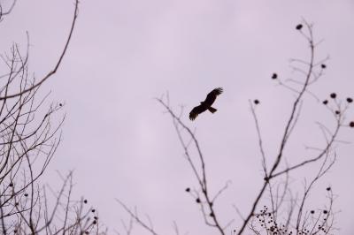 soku_36487.jpg :: 動物 鳥 野鳥 自然の鳥  とんび