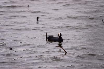 soku_36488.jpg :: 動物 鳥 野鳥 自然の鳥  カワウ
