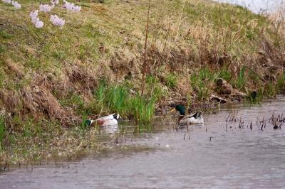 soku_36489.jpg :: 動物 鳥 野鳥 自然の鳥  カモ