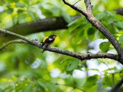 soku_36490.jpg :: 動物 鳥 野鳥 自然の鳥 キビタキ