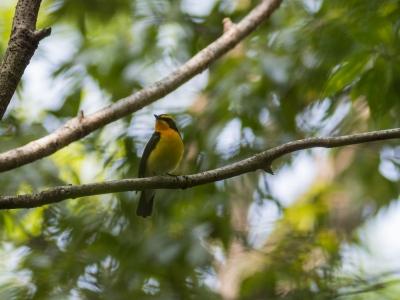 soku_36491.jpg :: 動物 鳥 野鳥 自然の鳥 キビタキ