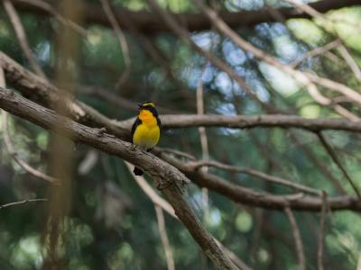 soku_36492.jpg :: 動物 鳥 野鳥 自然の鳥 キビタキ