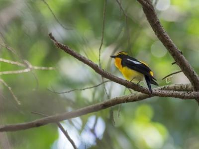 soku_36493.jpg :: 動物 鳥 野鳥 自然の鳥 キビタキ