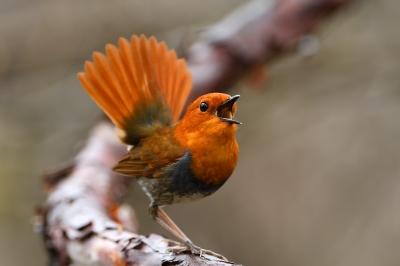 soku_36494.jpg :: 動物 鳥 野鳥 自然の鳥 コマドリ