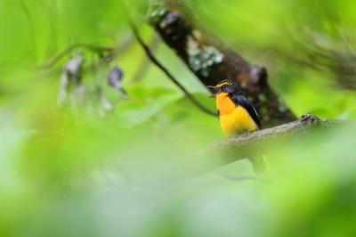 soku_36496.jpg :: 動物 鳥 野鳥 自然の鳥 キビタキ