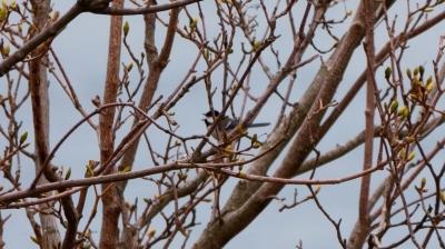 soku_36502.jpg :: 動物 鳥 野鳥 自然の鳥  シジュウカラ
