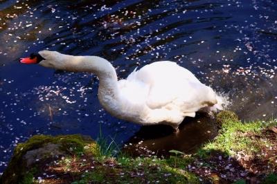 soku_36503.jpg :: 野鳥 白鳥