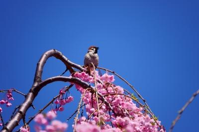 soku_36504.jpg :: 動物 鳥 野鳥 自然の鳥  スズメ