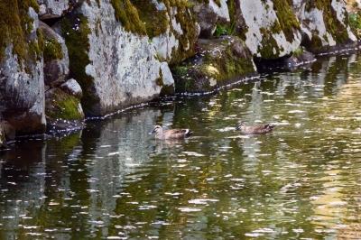soku_36505.jpg :: 動物 鳥 野鳥 自然の鳥  カモ