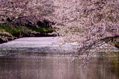 soku_36506.jpg :: 弘前公園 カモ