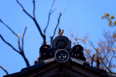 soku_36508.jpg :: 山居倉庫 スズメ