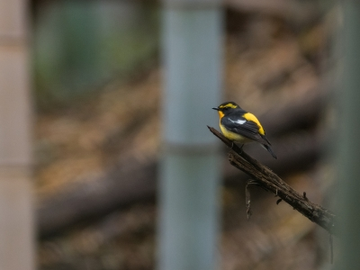 soku_36517.jpg :: 動物 鳥 野鳥 自然の鳥 キビタキ