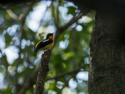 soku_36518.jpg :: 動物 鳥 野鳥 自然の鳥 キビタキ