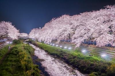 soku_36522.jpg :: 夜桜 野川