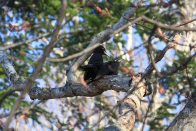 soku_36524.jpg :: 動物 鳥 野鳥 自然の鳥 クマゲラ 交尾