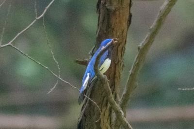 soku_36531.jpg :: 動物 鳥 野鳥 自然の鳥 オオルリ