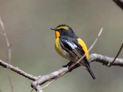 soku_36535.jpg :: 動物 鳥 野鳥 自然の鳥 キビタキ