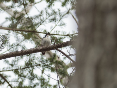 soku_36542.jpg :: 動物 鳥 野鳥 自然の鳥 コルリ