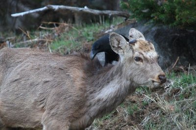 soku_36544.jpg :: 動物 鳥 カラス 鹿