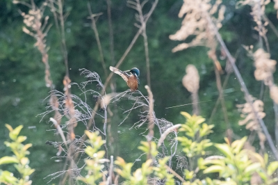 soku_36546.jpg :: 動物 鳥 野鳥 自然の鳥 カワセミ