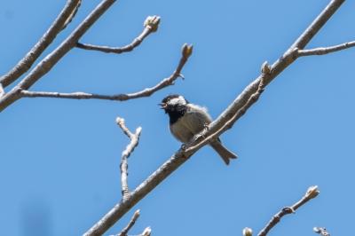 soku_36547.jpg :: 動物 鳥 野鳥 自然の鳥 ヒガラ