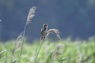 soku_36550.jpg :: 動物 鳥 野鳥 自然の鳥 オオヨシキリ