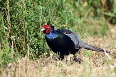 soku_36552.jpg :: 動物 鳥 野鳥 自然の鳥 キジ