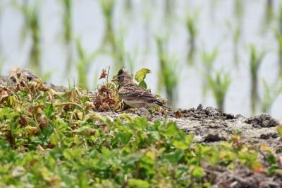 soku_36553.jpg :: 動物 鳥 野鳥 自然の鳥 ヒバリ