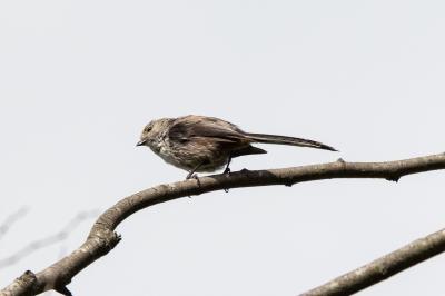 soku_36555.jpg :: 動物 鳥 野鳥 自然の鳥 エナガ