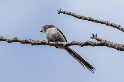 soku_36556.jpg :: 動物 鳥 野鳥 自然の鳥 エナガ